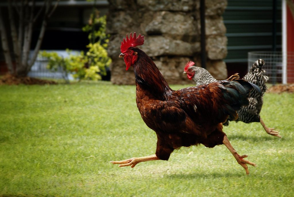 Two chickens are running on the ground.